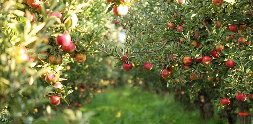 The morning sun falls on trees in an orchard bearing countless apples.